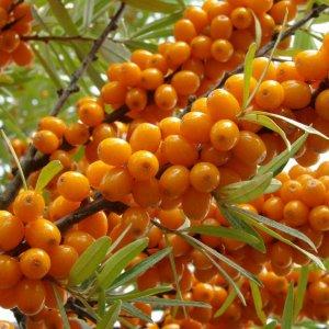 Масло герани: свойства и применение