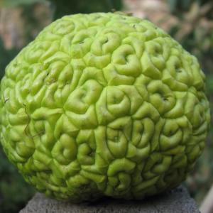 Фрукт адамово яблоко или маклюра, лечебные свойства и применение