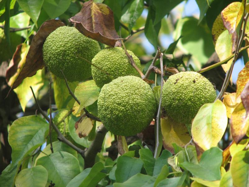 Адамово яблоко- применение рецепта настойки для суставов